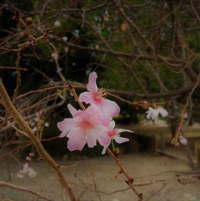 十月桜か?