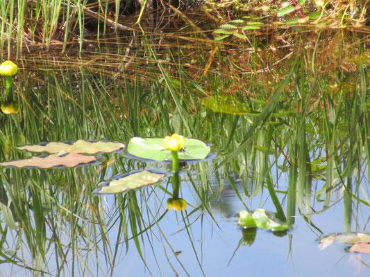 沼のところどころには根室河骨(ネムロコウホネ)の黄色い花が咲く。