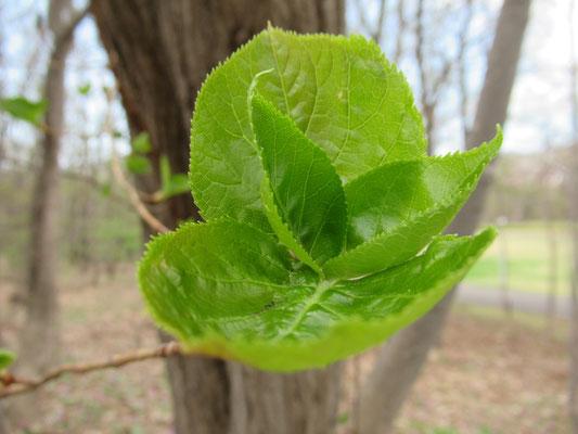 ツルアジサイ。こんなみずみずしい新芽なら、花じゃなくても見ているだけで嬉しくなります。