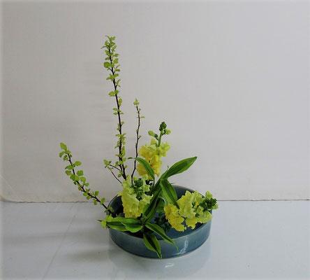 2020.2.26 <金葉コデマリ スナップドラゴン ドラセナサンデリアーナ> Katsurakoさんの作品です。盛花、直立型のお稽古です。