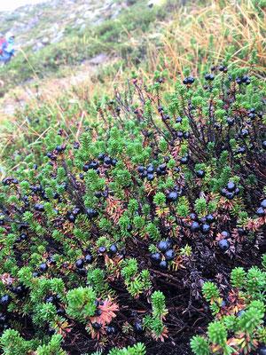 2020.9.23 ニセコのイワオヌプリ山腹に群生するガンコウランの実が雨に濡れる。