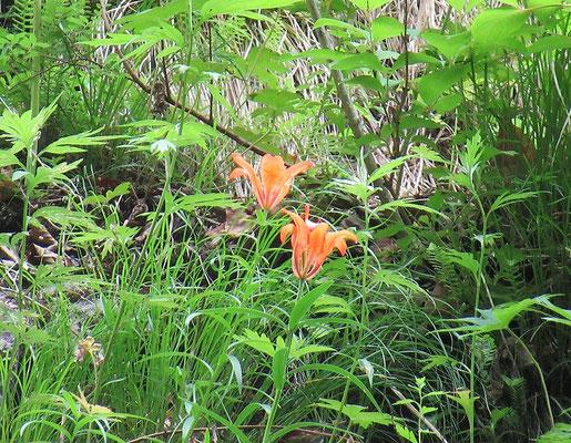 蝦夷透かし百合(エゾスカシユリ) 人の手の届かぬ沢の向こうの岩壁に咲いていた。