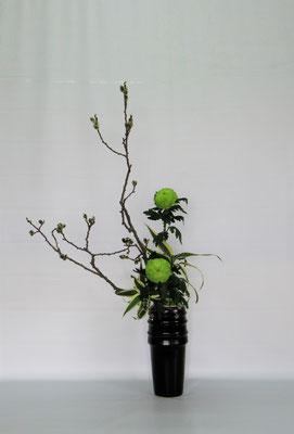 2019.4.9 <猫柳 オランダ玉菊 ドラセナ・サンデリアーナ> Kumikoさんの作品です。