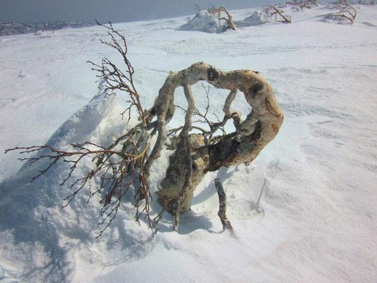 天然のオブジェ!? 朝里岳の山頂で風雪に耐えるダケカンバ。
