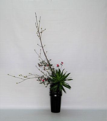2020.1.28 <山茱萸(サンシュユ)錦紅花つつじ ドラセナ・ジャマイカ> Tamikoさんの作品です。この取合せはとても難しかったです。どうしてこのような取り合わせになったのか? 包みを開いて驚きました。