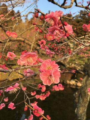池にせり出すように枝を広げる紅梅。