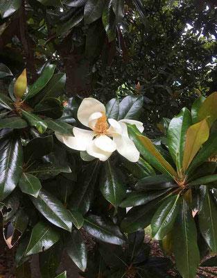 「ここが新宿?」と、思うような大木が茂り一瞬にして森の中。すぐに現れたのはタイサンボク。初夏の花。大輪で見事。