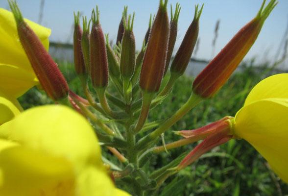 大待宵草(オオマツヨイグサ) 北アメリカ原産の帰化植物。花がとても大きくて目立つ。大アップで撮影。