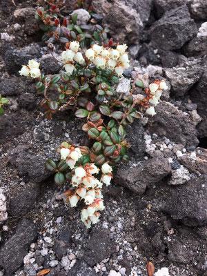 この写真は小さな株だが、コメバツガザクラは山の岩肌一面に咲いていた。芳しい香りを放つ。