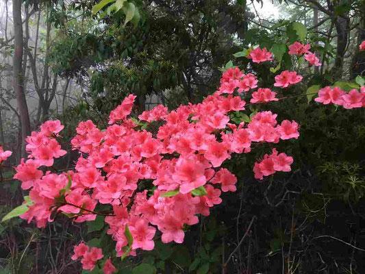 ここからは六甲山で出会った花々。ツツジがいっぱい咲いていました。有馬温泉からロープウェイで山頂駅まで登り、そこから歩き始めました。すぐに出会ったのがこのツツジ。