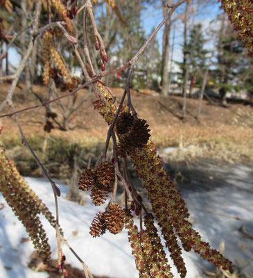 榛の木(ハンノキ)細長く垂れ下がっているのが雄花、小枝先の小豆のような小さなものが雌花。中央に写っているのは果実。