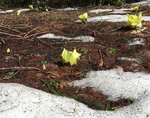雪解けとフキノトウ。触れるととても柔らか。