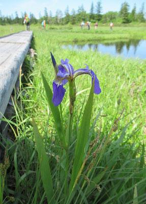 2020.7.9 神仙沼に咲くヒオウギアヤメ。