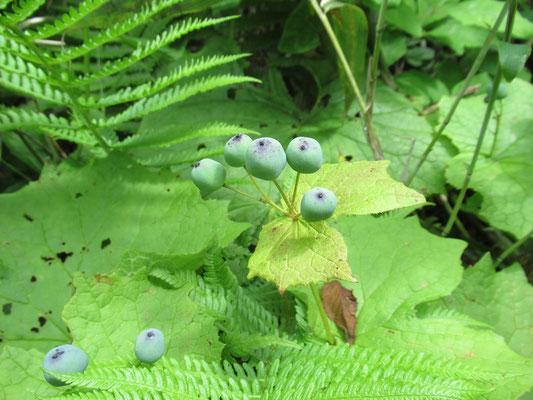 山荷葉(サンカヨウ)の実。熟すると黒紫色となり、ほのかに甘くジューシー。