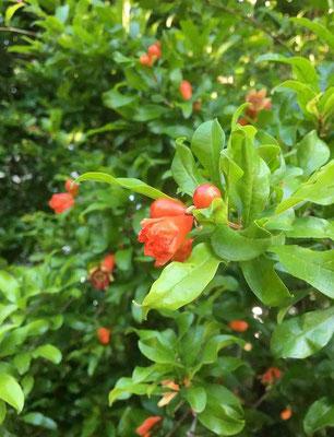 境内に咲く柘榴(ザクロ)の花