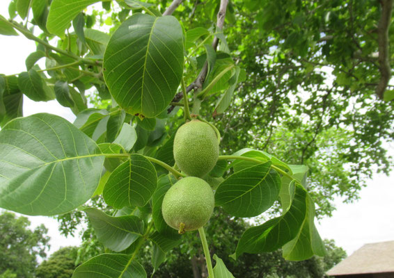 クルミ 農村部で見かけた胡桃の実は、もうこんなに大きくなっていました。