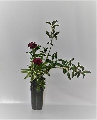 <金木犀(キンモクセイ) 中菊 ドラセナ・サンデリアーナ> Kumikoさんの作品です。届いた金木犀の枝がやや単調でしたし本数も限られていましたので傾斜型に。