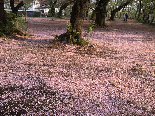まるで桜の花びら絨毯!?