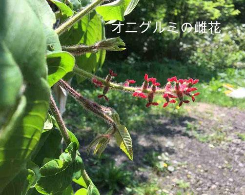 オニグルミの雌花です。写真撮影のため枝を下に傾けて写しました。