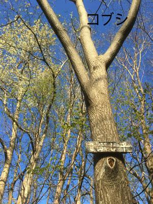 山の中腹に咲くキタコブシ。高木の上に満開です。