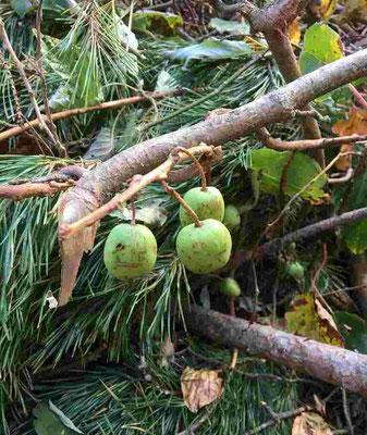GETしたのはサルナシの実です。北海道では『コクワ』と呼び、大変ポピュラーな秋の実です。