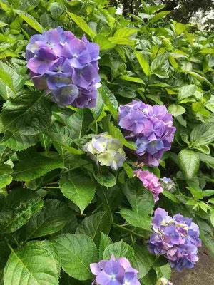 それから旬の花はもちろん紫陽花。