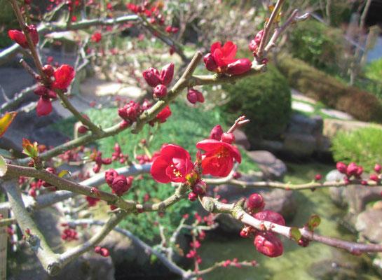 2015.2.28 長谷寺の木瓜 日差しの暖かさを感じる一枚です。
