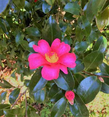 山茶花が美しい! 気温が下がるほど美しさが際立つのだろうか?