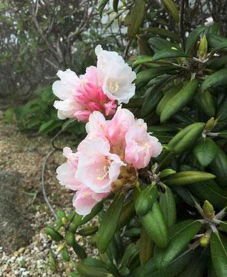 屋久島石楠花(ヤクシマシャクナゲ)