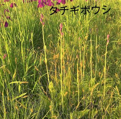 タチギボウシ。もう少しで花が咲きそうです。