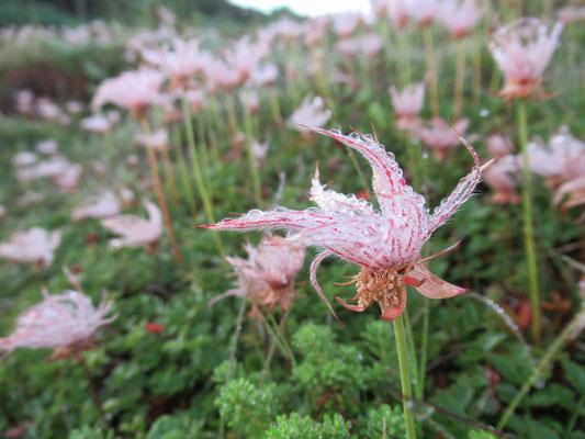 2020.8.10 朝露に濡れるチングルマの穂が風に揺れ。
