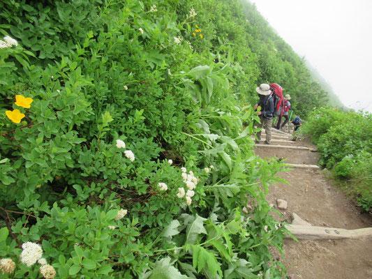 2020.8.9 辛い登りも雲の上に飛び出し、登山道脇に咲く花々に癒されて山頂を目指す。