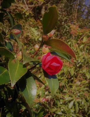 山茶花! 自然の中に咲く山茶花を見ると、北海道との距離を感じる。見慣れぬ景色だ。