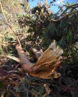 台風21号の爪痕。大きな木が無残に倒れ、どれほどの風が吹き荒れたのかと驚きました。