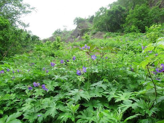 グンナイフウロの群生する斜面。見事に咲いていて、苦労して登った甲斐があったというもの。
