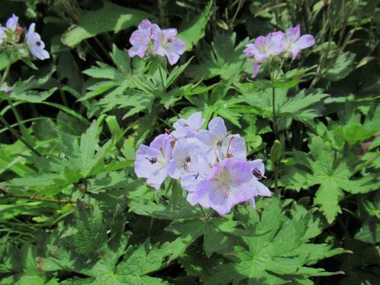 千島風露(チシマフウロ) 淡い紫色が涼し気で真夏の暑さを吹き飛ばす。