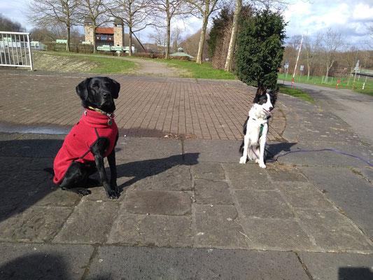Labrador und Border Collie