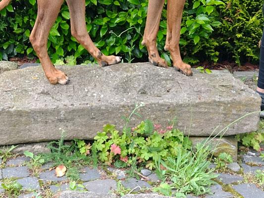 Grunderziehungskurs Junghunde, Juni