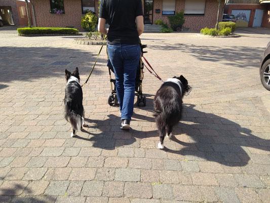 Einzeltraining Leinenführigkeit mit zwei Hunden am Kinderwagen, August