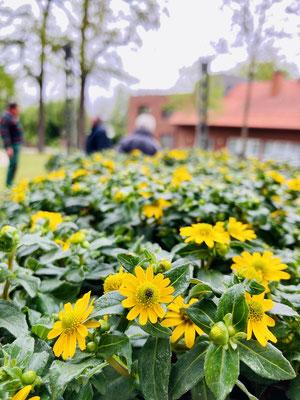Die fröhlich gelb blühenden Blumen warten auf ihren Einsatz im Hüde-Schriftzug am Dorfplatz.