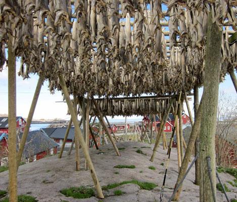 Einst wichtigster Exportartikel der Lofoten: Tørrfisk, getrockneter Fisch