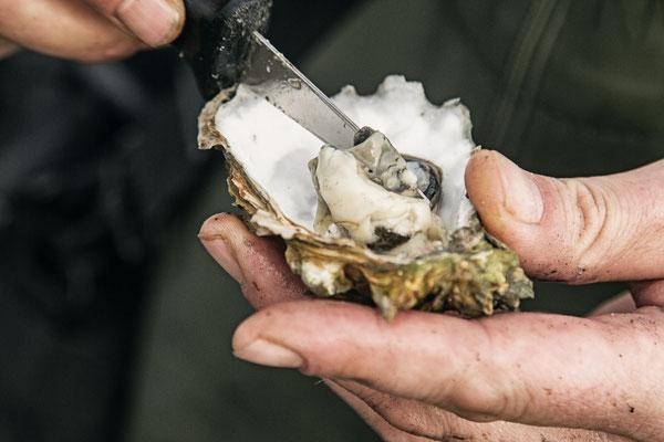 Frisch aus der Schale: Austernsafari in  Dänemark. Foto: PR/Red Star