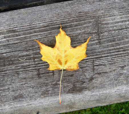 Kanadas Nationalbaum: Ahornblatt