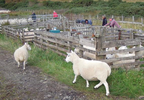 Typisch: Zählung und Impfung schottischer Schafe