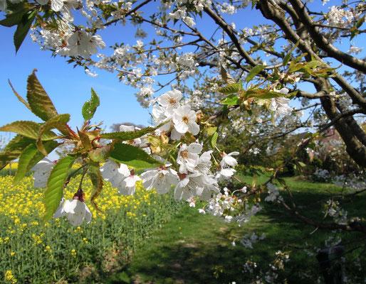 Von April bis Ende Mai blühen hunderte Kirschsorte in und um Hagen a.T.W. Foto: C. Schumann, 2019