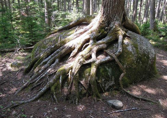 Die Natur im Osten Kanadas ist überwältigend –Wurzel im Kejimkujik Nationalpark
