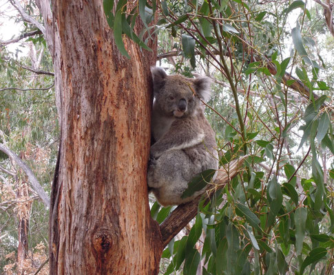 Im Koala Conservation Center auf Philip Island. Foto: C. Schumann