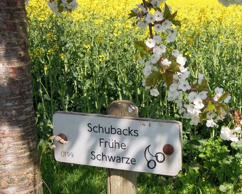 """Sortenvielfalt auf dem Kirschlehrpfad - """"Schubacks frühe Schwarze"""". Foto: C. Schumann, 2019"""