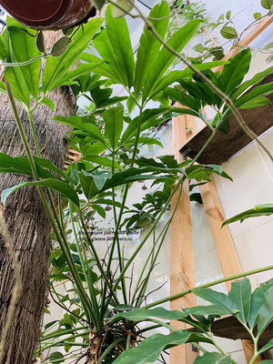 Philodendron (Филодендрон) goeldii