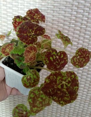 Бегония Begonia Marmaduke